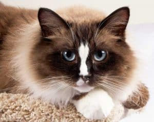 Ragdoll Cats Temperament