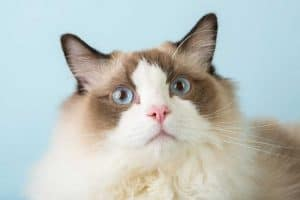 Are Ragdoll Cats Hypoallergenic?