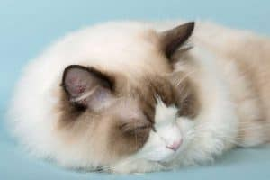 Are Ragdoll Cats Friendly?