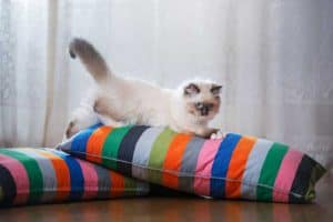 Can a ragdoll cat be left alone?