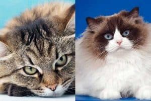 Ragdoll or Siberian Cats What's the difference?