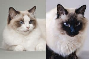 Ragdoll vs Balinese Cats What's the Difference