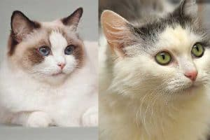 Ragdoll vs Ragamuffin Cats What's the Difference?